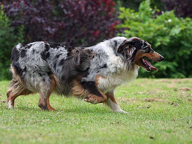 What To Do About Dog Biting And Nipping Due To Herding Instinct